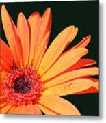 Orange Gerbera On Black Right Side  Metal Print