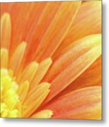 Orange Gerbera Petals Metal Print by Wim Lanclus
