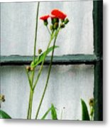 Orange Hawkweed Over Gray Muslin Metal Print