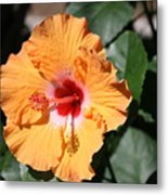 Orange Hybiscus Metal Print
