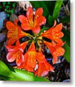 Orange Trumpet Flowers At Pilgrim Place In Claremont-california Metal Print