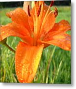 Orange Lily Dew Drop Metal Print