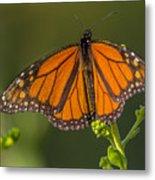 Orange Monarch Metal Print