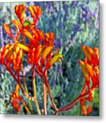 Yellow-orange Kangaroo Paws At Pilgrim Place In Claremont-california- Metal Print