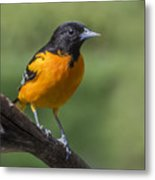 Orange Oriole Metal Print