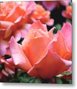 Orange-pink Roses  Metal Print