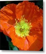 Orange Pop Photograph Metal Print