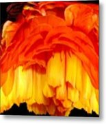 Orange Ranunculus Polar Coordinate Metal Print