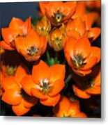Orange Starflower Metal Print