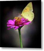 Orange Sulphur Butterfly Portrait Metal Print