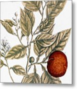 Orange Tree, 1735 Metal Print