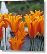 Orange Tulips In A Colonial Garden Metal Print