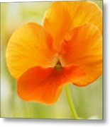 Orange Viola On A Brilliant Spring Day Metal Print