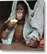 Orangutan 2yr Old Infant Holding Banana Metal Print