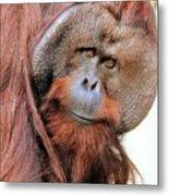 Orangutan Male Closeup Metal Print