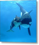 Orca Orcinus Orca Mother And Newborn Metal Print by Hiroya Minakuchi