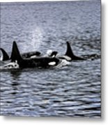 Orcas, The Killer Whales Metal Print