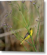 Orchard Oriole Metal Print
