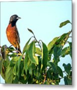 Orchard Oriole Songbird Perched On A Bush Metal Print