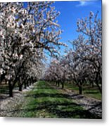 Orchard Trees Blossoming Metal Print