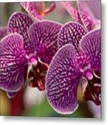 Orchid Ascda Laksi Metal Print