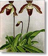 Orchid, C. Oenanthum Superbum, 1891 Metal Print