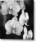 Orchid Cluster Close-up Metal Print