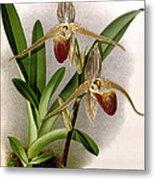 Orchid, Cypripedium Elliottianum, 1891 Metal Print