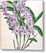 Orchid, Dendrobium Transparens, 1891 Metal Print