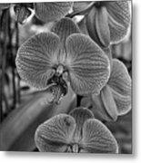 Orchid Glory Black And White Metal Print
