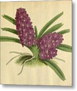 Orchid Saccolabium Ampullaceum  Metal Print