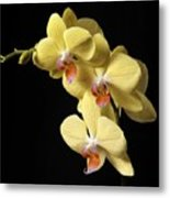 Orchid Set Against Black. Metal Print