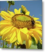 Oregon Gardens Silverton Sunflower Honeybee Baslee  Metal Print