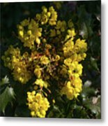 Oregon Grape Flowers Metal Print