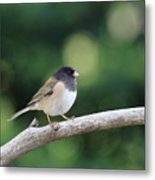 Oregon Junco Metal Print