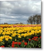 Oregon Tulip Fields 2 Photograph Metal Print