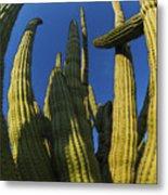 Organ Pipe Cactus Arizona Metal Print