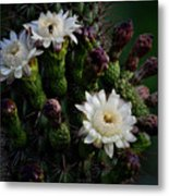 Organ Pipe Cactus Flowers  Metal Print