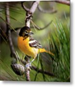 Oriole And Pine Cone Metal Print