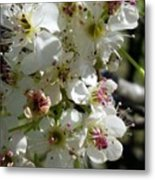 Ornamental Pear Metal Print