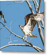 Osprey And Black Billed Magpie Metal Print