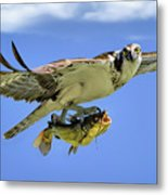 Osprey And Catfish Metal Print