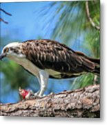 Osprey Breakfast Break Metal Print