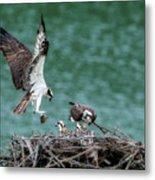 Osprey Bringing Fodd To The Babies Metal Print