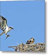 Osprey Brings Fish To Nest Metal Print