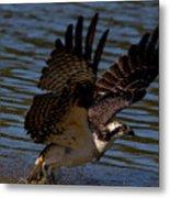 Osprey Catching A Fish Metal Print
