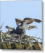 Osprey Family Portrait No. 1 Metal Print