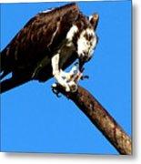 Osprey Feeding 014 Metal Print