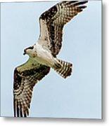 Osprey Hovering Metal Print