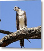 Osprey In The Trees Metal Print
